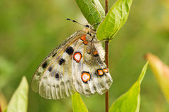 Nomion butterfly Royalty Free Stock Photos