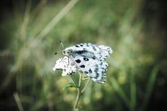 Nomion di Parnassius della farfalla Fotografie Stock Libere da Diritti