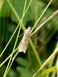 Nomophila noctuella, Crambidae. Rush Veneer moth on grass. Royalty Free Stock Photo