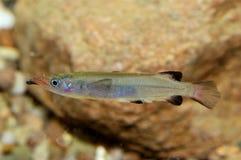 Nomorhamphus fish Stock Photography