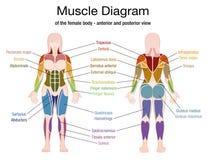 Noms de corps féminin de diagramme de muscle illustration libre de droits