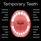 Noms de dents primaires Photos libres de droits