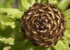 Желтый бутон cornflower Стоковые Фото