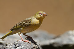 Non-breeding Southern Masked-Weaver Stock Photography