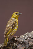 Non-breeding Southern Masked-Weaver Stock Photo