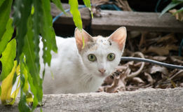 Non-Domestic cat. Cat looking at you Stock Photo
