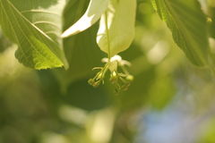 Non fiori della fioritura sull'albero Immagine Stock Libera da Diritti