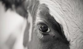 Non il colore osserva la mucca rossa e la mosca Immagini Stock Libere da Diritti