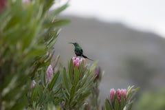 Non multiplication du famosa de Nectarinia de sunbird de malachite image libre de droits