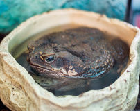 The non-native marine toad, Bufo marinus. Is a large, terrestrial true toad which is native to South and mainland Middle America stock photography