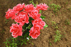 Non-natural bouquet of roses in ground on grave Stock Photos