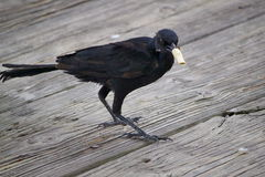 NON, oiseau ! Images stock