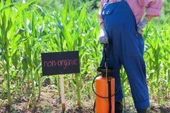 Non-organic corn field. Farmer standing in front of the non-organic corn field Stock Photos