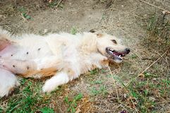 A friendly dog lies on the ground with his belly up. stock photos