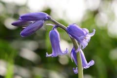 Non-scripta de hyacinthoides de jacinthe des bois photos stock