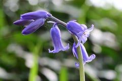 Non-scripta hyacinthoides Bluebell стоковая фотография