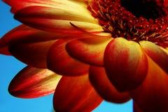 Non tutta che sia rossa è una rosa Fotografie Stock Libere da Diritti
