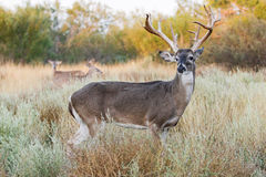 Non-typical whitetail buck Royalty Free Stock Photo