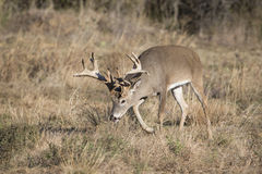 Non typical whitetail buck on trail of doe Royalty Free Stock Photo