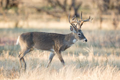 Non-typical whitetail buck Stock Photography