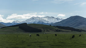 Non urban grassland against snow mountain at New Zealand. Non urban grassland against snow mountain at New Zealand royalty free stock images