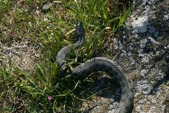 Non venomous adder snake hunt in the green grass. On a sunny warm spring day Stock Photos