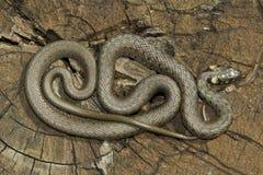 Non venomous  Grass snake Stock Image