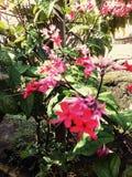 Nona Makan Sirih цветка красные стоковая фотография rf