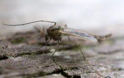 Nonbiting midget, chiromidae on wood. Macro photo of a Nonbiting midget, chiromidae on wood Royalty Free Stock Image