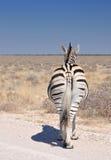 The nonchalant zebra Stock Photography