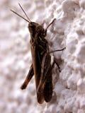 коричневый сверчок Стоковое Фото