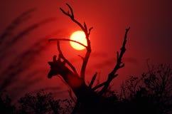 африканский заход солнца Стоковое Изображение RF