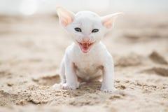 小猫白色 免版税库存图片