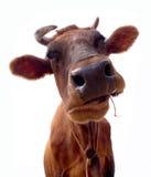 棕色母牛纵向 免版税库存照片