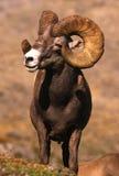 大角羊巨大的公羊绵羊 免版税图库摄影