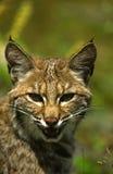 美洲野猫纵向 免版税图库摄影
