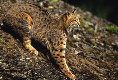 美洲野猫岩石 免版税库存照片