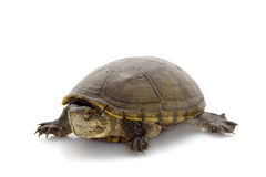 佛罗里达泥乌龟 免版税图库摄影