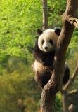 崽逗人喜爱的熊猫 免版税库存照片