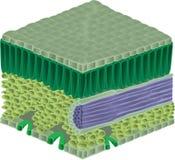 внутренние листья Стоковое Изображение RF