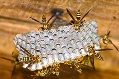 嵌套黄蜂 图库摄影