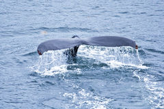 比目鱼驼背鲸 免版税图库摄影
