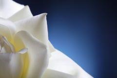 αυξήθηκε λευκό Στοκ Φωτογραφία