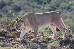 雌狮四处寻觅 库存照片