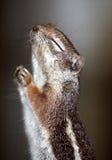 祈祷的灰鼠 免版税库存照片