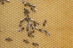 电池蜂蜜 图库摄影