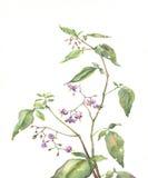 茄属植物绘画水彩 库存照片