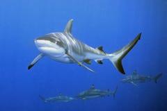 καρχαρίες Στοκ Φωτογραφίες