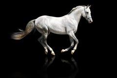 疾驰的银色公马白色 库存图片
