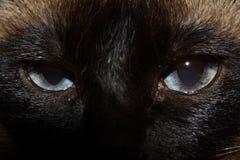 кот сиамский Стоковое Изображение RF